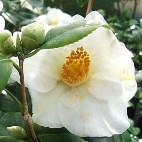 Camellia 'Alba Simplex' - Find Azleas,Camellias,Hydrangea and Rhododendrons at Loder Plants